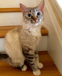 [another picture of Dutchess, a Ragdoll Mix lynx point\ cat]