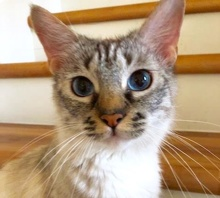 [picture of Dutchess, a Ragdoll Mix lynx point\ cat]
