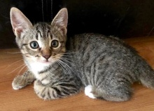 [another picture of Belioz, a Domestic Short Hair gray tabby/white\ cat]