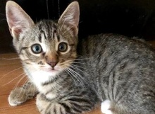 [picture of Belioz, a Domestic Short Hair gray tabby/white\ cat]