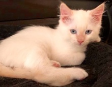 [another picture of Toulouse, a Ragdoll Mix flame point\ cat]