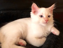 [picture of Toulouse, a Ragdoll Mix flame point\ cat]