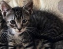 A picture of #ET02786: Mario a Domestic Short Hair gray tabby