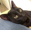 A picture of #ET02787: Sting a Domestic Short Hair black