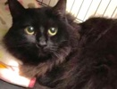 A picture of #ET02788: Princess a Ragdoll Mix black