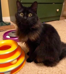 [picture of Princess, a Ragdoll Mix black cat]