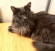 A picture of #ET02789: Hunter Tabby a Domestic Long Hair blue
