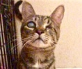 A picture of #ET02790: Sammy Davis a Domestic Short Hair brown tabby