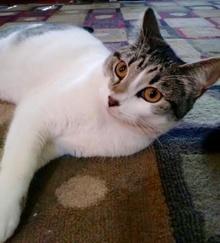 [another picture of Nina, a Domestic Short Hair white/gray tabby\ cat]