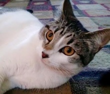[picture of Nina, a Domestic Short Hair white/gray tabby\ cat]