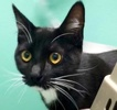 A picture of #ET02792: Socks a Domestic Short Hair black/white