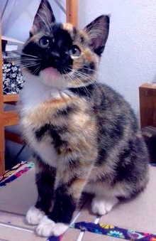 [another picture of Caleana, a Domestic Short Hair calico\ cat]