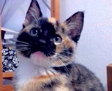 [picture of Caleana, a Domestic Short Hair calico\ cat]