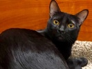 A picture of #ET02795: Killian a Domestic Short Hair black