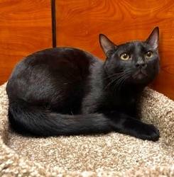 [picture of Killian, a Domestic Short Hair black cat]