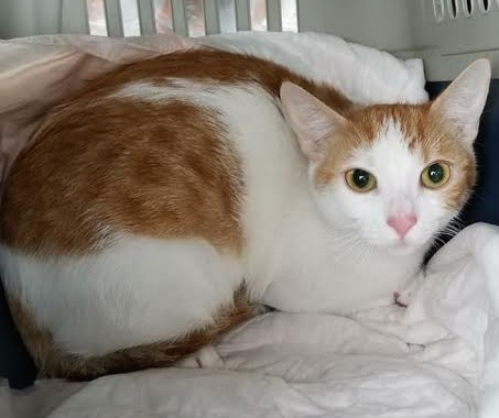 [picture of Scarlet, a Domestic Short Hair white/orange\ cat]