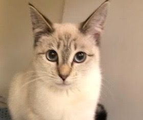 [picture of Rain Drop, a Siamese lynx point\ cat]