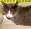 A picture of #ET02798: Bisketta a Domestic Short Hair blue/white