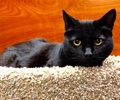 A picture of #ET02799: Dreamy a Domestic Medium Hair black
