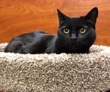 [another picture of Dreamy, a Domestic Medium Hair black\ cat]