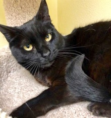 [picture of Dreamy, a Domestic Medium Hair black cat]