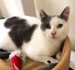 A picture of #ET02800: Rum Cake a Domestic Short Hair white/tabby