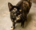 A picture of #ET02801: Truffle a Domestic Short Hair tortie