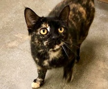 [picture of Truffle, a Domestic Short Hair tortie\ cat]