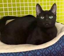 [another picture of Babaloo, a Bombay black\ cat]