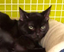[picture of Babaloo, a Bombay black\ cat]