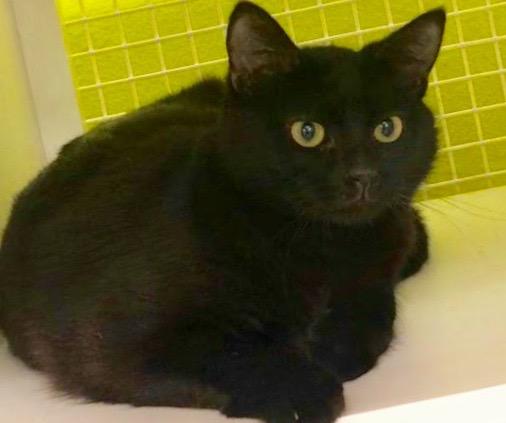 [picture of Lucila, a Domestic Medium Hair black cat]
