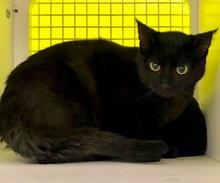 [picture of Lucila, a Domestic Medium Hair black\ cat]