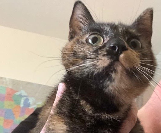 [picture of Marina, a Domestic Short Hair tortie\ cat]