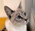 A picture of #ET02806: Kawaii a Siamese lynx point