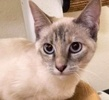 A picture of #ET02808: Ni a Siamese lynx point