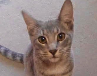 [picture of San, a Oriental Mix silver tabby\ cat]