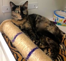 [another picture of Goldie, a Domestic Short Hair tortishell\ cat]