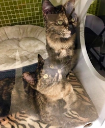 [picture of Goldie, a Domestic Short Hair tortishell cat]