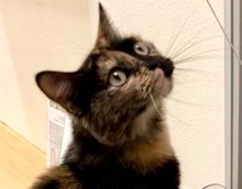 [picture of Goldie, a Domestic Short Hair tortishell\ cat]