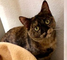[picture of Clacie, a Domestic Short Hair tortishell\ cat]