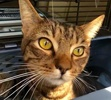 A picture of #ET02813: Salishan a Domestic Short Hair brown tabby