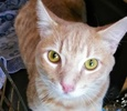 A picture of #ET02814: Eli a Domestic Short Hair orange