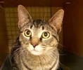 A picture of #ET02816: McGully a Domestic Short Hair brown tabby