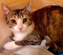 [picture of Moira, a Domestic Short Hair brown tabby cat]