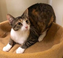 [picture of Moira, a Domestic Short Hair brown tabby\ cat]