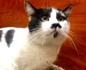 A picture of #ET02820: Makassar a Domestic Short Hair black/white