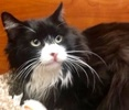 A picture of #ET02821: Oliver a Ragdoll Mix black/white