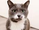 [picture of Dexter, a Russian Blue Mix blue/white cat]