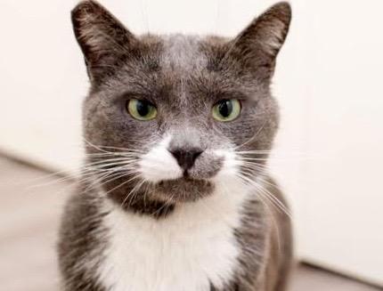 [picture of Dexter, a Russian Blue Mix blue/white\ cat]