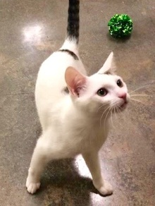 [another picture of Lefty, a Turkish Van Mix white/tabby\ cat]